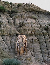 Ndgs north dakota notes 3 petrified stump in theodore roosevelt national park photo by j bluemle sciox Choice Image