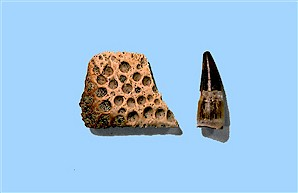 Figure 15. Crocodile scute (left) and tooth (right), Sentinel Butte Formation, North Unit. Height of tooth = ¾ inch.