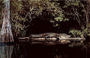 Figure 16. Photo of a living crocodile in a swampy habitat.