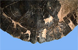 Figure 18. Protochelydra carapace showing healed tooth puncture marks on the posterior part of the carapace (same specimen as in Figure 17).