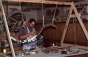 Figure 22f. Backbone of the champsosaur being reconstructed by Johnathan Campbell in the Survey's paleontology laboratory.