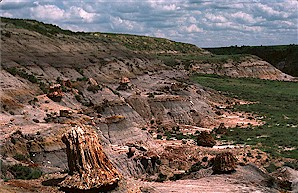 Figure 5. Fossil tree stumps in growth position in the lower part of the Sentinel Butte Formation, Petrified Forest Plateau, South Unit. Large stump in foreground is 3 feet tall.