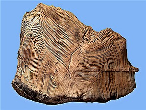 "Figure 6. Unusually well preserved piece of petrified wood from the Sentinel Butte Formation. Width = 4½""."